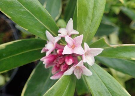 Top 30 arbustes parfumés - Daphne odora