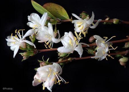 Top 30 arbustes parfumés - Lonicera fragrantissima