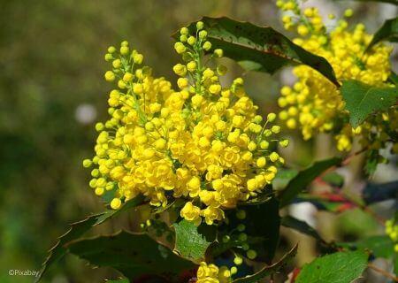 Top 30 arbustes parfumés - Mahonia