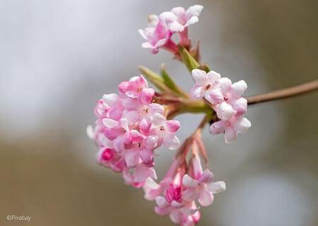 Top 30 arbustes parfumés - Viburnum bodnantense