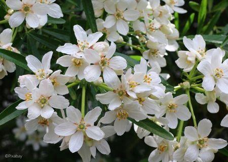 Top 30 arbustes parfumés - Choisya - Oranger du Mexique