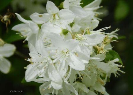 Top 30 arbustes parfumés - Deutzia gracilis