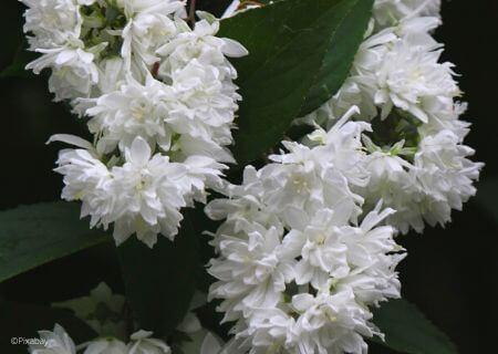 Top 30 arbustes parfumés - Deutzia magnifica