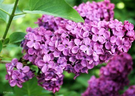 Top 30 arbustes parfumés - Syringa vulgaris - Lilas