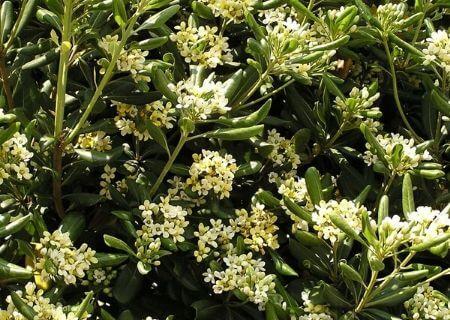 Top 30 arbustes parfumés - Pittosporum tobira