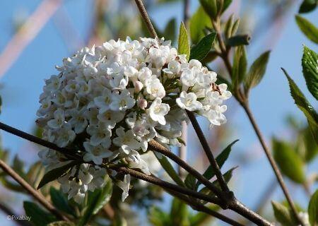 Top 30 arbustes parfumés - Viburnum burkwoodii