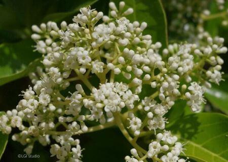Top 30 arbustes parfumés - Viburnum odoratissimum