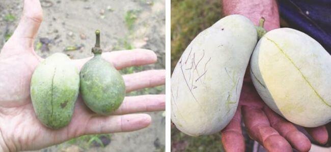 Comparatifs de fruits issus de plant non greffé et de plant greffé