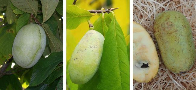 Présentation des variétés d'asiminier trilobé