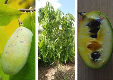 Asiminier : un arbre fruitier aux multiples propriétés