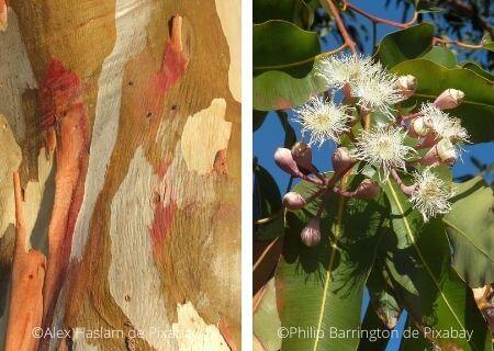 Eucalyptus : écorce et floraison